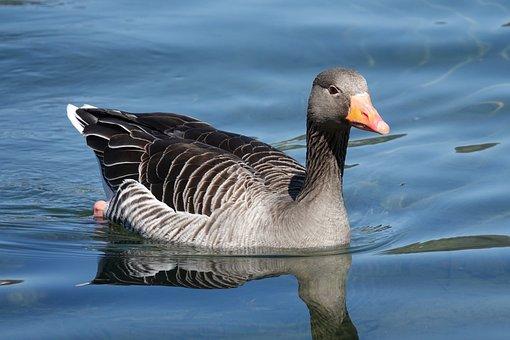 Greylag Goose, Goose, Lake, Bird, Waterfowl, Water Bird
