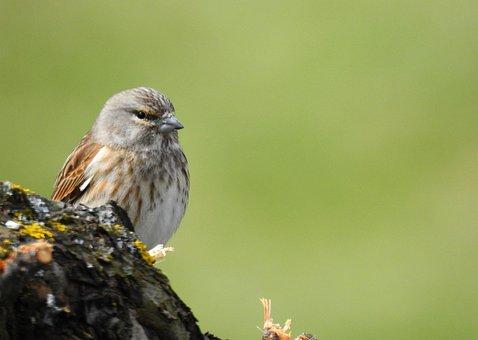 Linnet, Bird, Branch, Perched, Animal, Wildlife