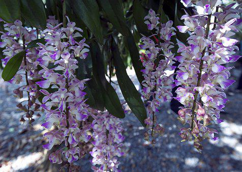 Orchids, Flower, Petals, Plant, Ornamental Plants