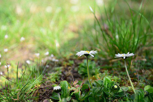 Daisy, Flowers, Plant, White Flowers, Petals, Leaves