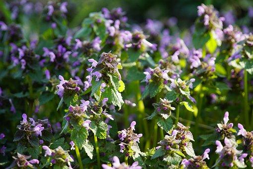 Nettle, Flowers, Plant, Leaves, Lamium, Purple Flowers
