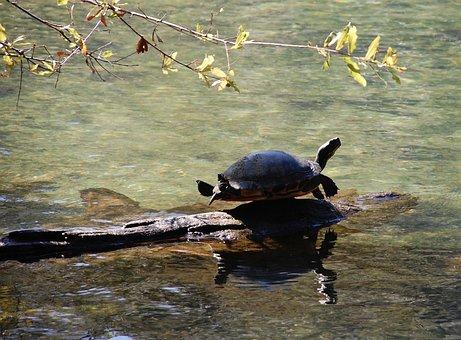 Turtle, Animal, Pond, Reptile, Wildlife, Shell, Water