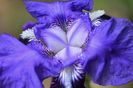 Purple Iris, Flowers, Spring, Black Iris