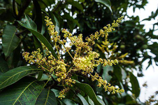 Mango Tree, Flowers, Tree, Leaves, Mango, Foliage