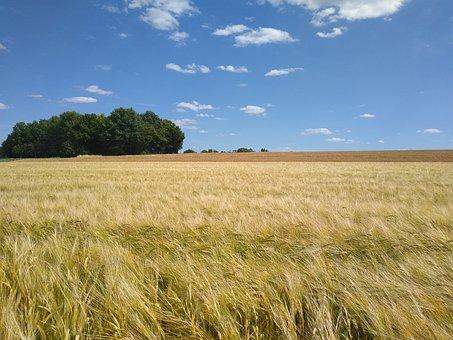 Cornfield, Grain, Cereals, Wheat, Agriculture