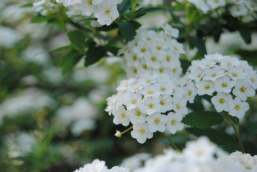 White, Flowers, Petals, Spring, White Flowers