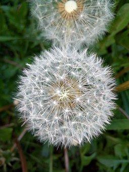 Flower, Dandelion, Wildflower, Seed Head, Blowball