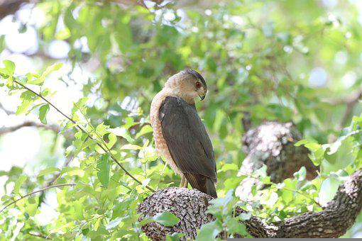 Hawk, Red Tail Hawk, Raptor, Young, Backyard, Wildlife