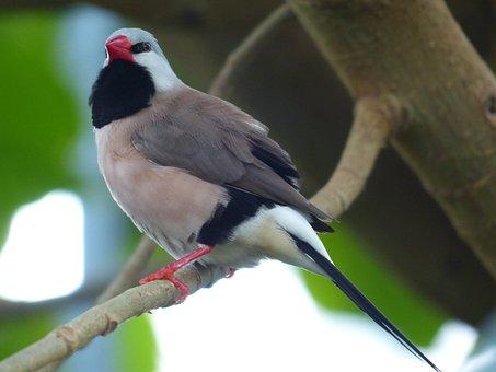 Spitzschwanzamadine, Bird, Poephila Acuticauda