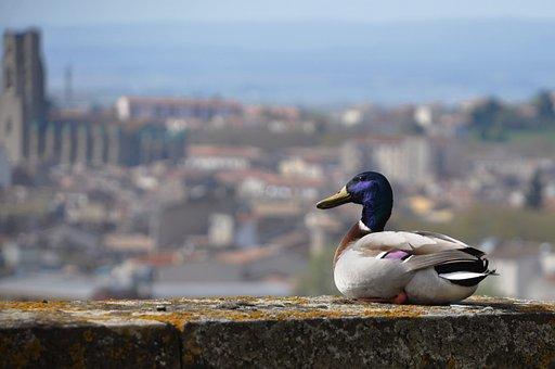 Duck, Volatile, Castle, Animals, Birds, Beak, Geese