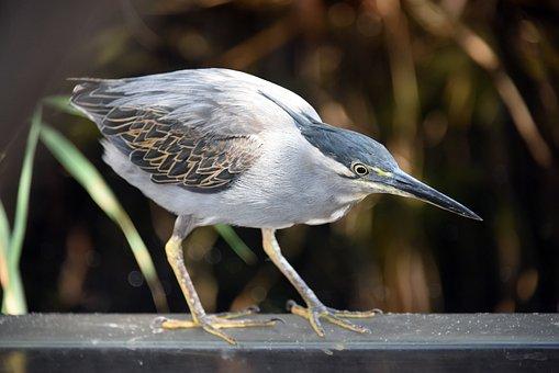 Striated Heron, Birds, Fauna, Ornithology, Pen, Nature