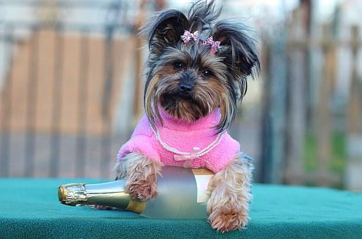 Dog, Champagne, Happy New Year, Yorkshire Terrier