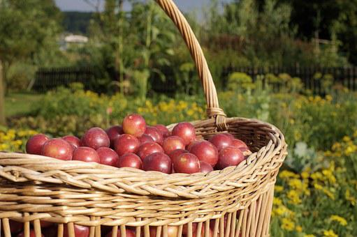 Basket, Plum, Frisch, Fruit Basket, Nature, Delicious