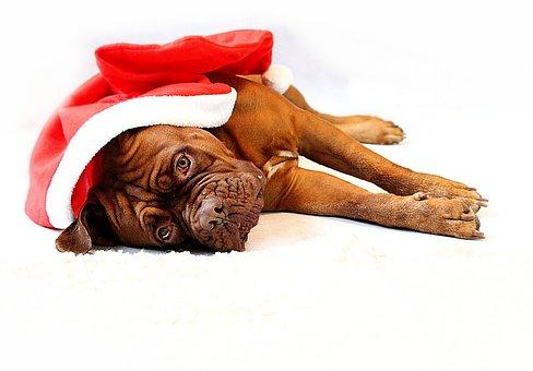Barbara De Bordeaux, Dogue De Bordeaux, Dog, Animal