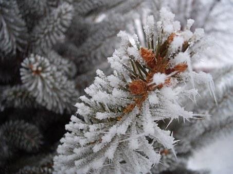 Frost, Winter, Pine, Snow, Tree, Branch, Cold, Ice
