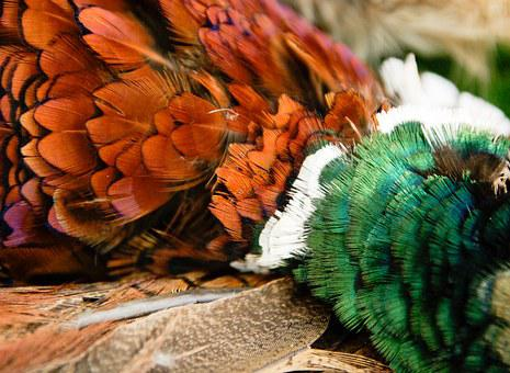 Pheasant, Cock, Game, Feathers