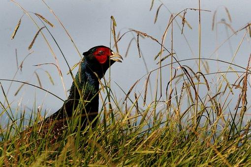 Pheasant, Wild Bird, Game, Cock