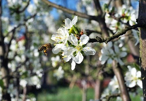 Bee, Pollination, Flower, Plum, Garden, Insect, Pollen