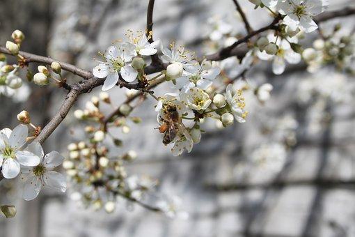 Bee, Honey, Flower, Spring, White Flower