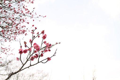 Japanese Peace Park, March, Plum Blossom