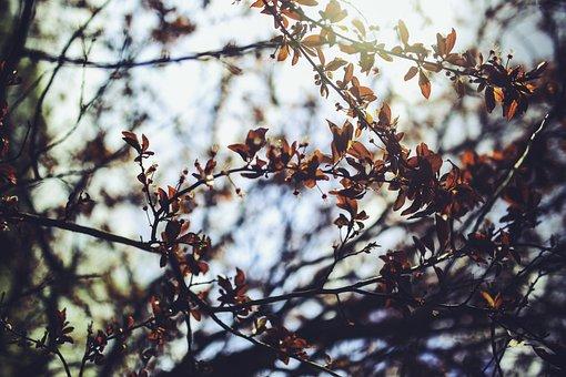 Cherry Plum, Prunus Cerasifera, Tree, Leaves, Leaf