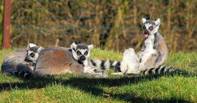 Lemur, Lemurs, Mammals, Lemur Catta, Prosimians, Animal