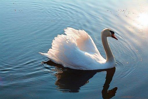 Swan, Lake, Swans, Bird, Nature, Water, Landscape