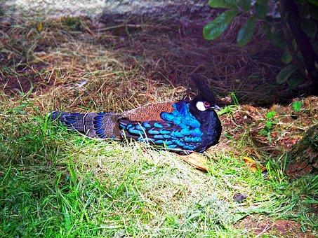 Palawan Peacock-pheasant, Pheasant