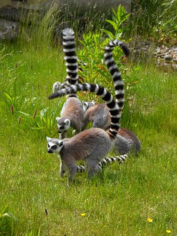 Ring Tailed Lemur, Prosimians, Lemurs, Cocks, Ringed