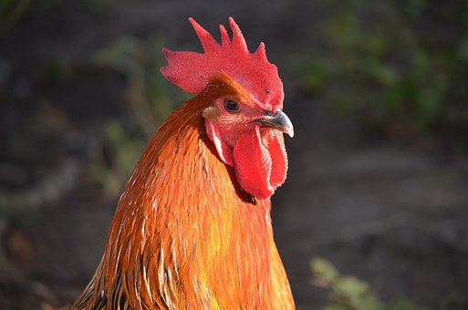 Rooster, Head, Rooster Head, Poultry, Animals, Bird
