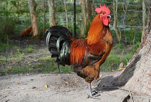 Rooster, Poultry, Animals, Bird, Animal, Chicken