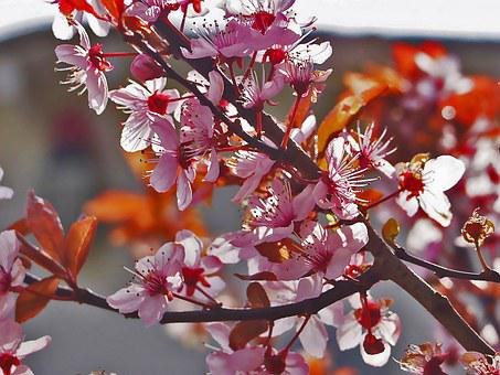 Blood Plum, Nature, Blossom, Bloom, Spring, Tree