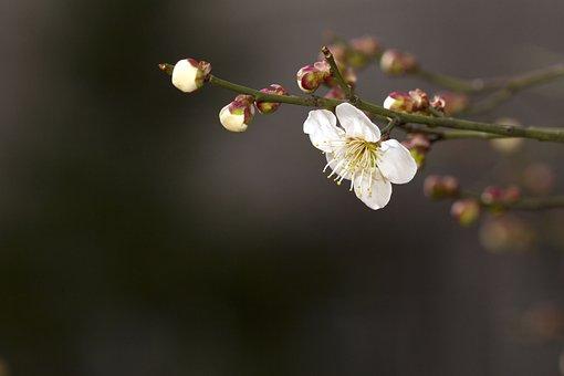 Spring, Plum, Plants, Flowers, Quisqualis Indica, Neat
