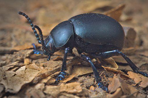 Black Beetle, Beetle, Insect, Coleoptera, Bug, Close Up