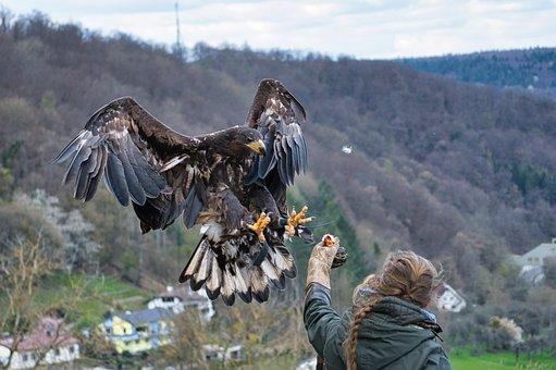 Raptor, Bird, Falconry, Bird Of Prey, Animal, Nature