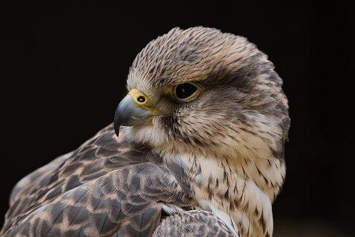 Bird, Falcon, Raptor, Falconry, Bird Of Prey, Feather