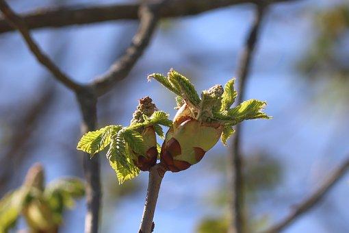 Chestnut Tree, Bud, Leaf, Spring, Go Up, Engine, Young