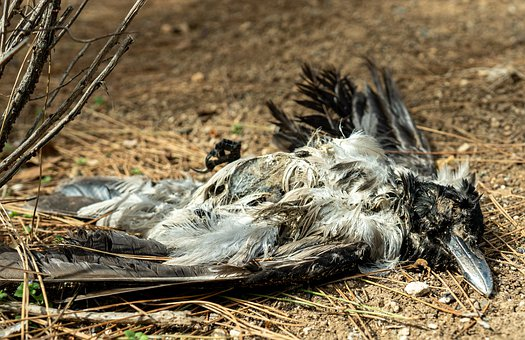 Bird, Crow, Dead, Rotting, Decay, Death, Nature