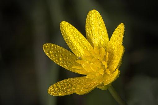 Celandine, Yellow, Flower, Dew, Dewdrops, Flora