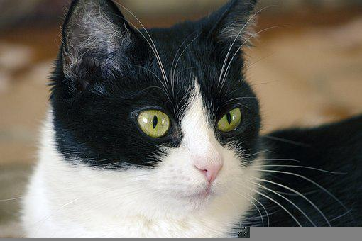 Cat, Pet, Head, Animal, Domestic Cat, Eyes, Whiskers