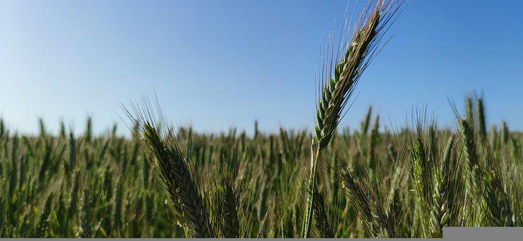 Stem, Wheat, Grass, Field, Spring, Toledo