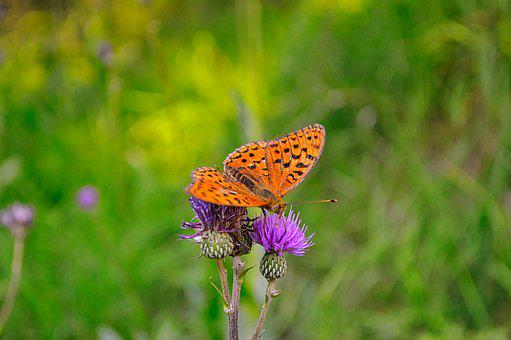 Butterfly, Insect, Flower, Silver-washed Fritillary