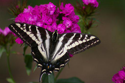 Swallowtail Moth, Butterfly, Flower, Insects