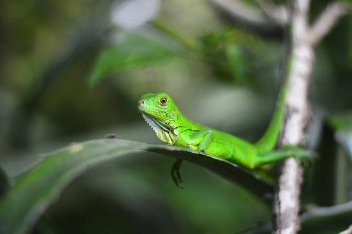 Animals, Animal, Natura, Green, Nature, Lizard