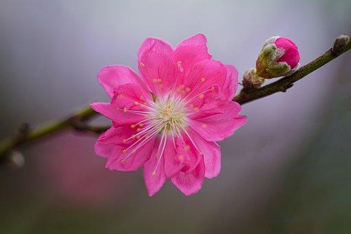 Plum Blossom, Flowers, Bud, Spring, Pink Flower, Petals