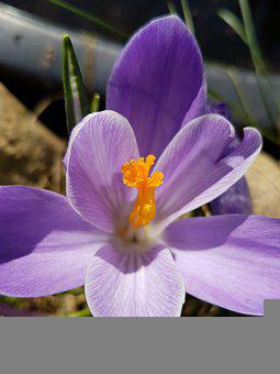 Crocus, Flower, Plant, Purple Flower, Petals, Bloom