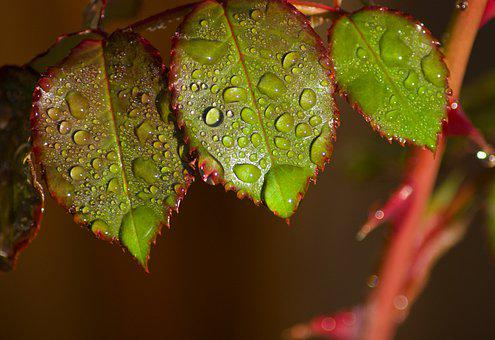 Rose, Leaves, Dew, Dew Drops, Raindrops, Wet, Plant