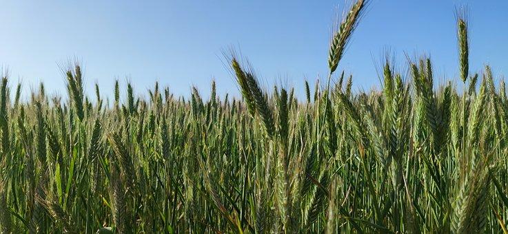 Stem, Wheat, Field, Vineyards, Green, Spring