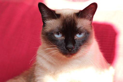 Cat, Domestic Cat, Portrait, Face, View, Thai Siam