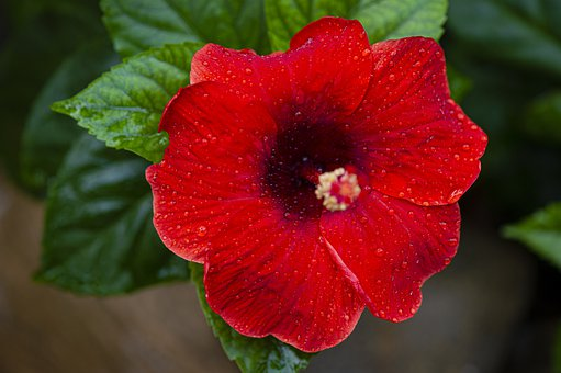 Hibiscus, Red, Dew, Dewdrops, Water Droplets